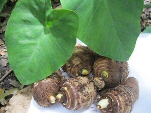 5 Taro Root Bulbs Elephant Ear Edible Aquatic Marginal Bog Pond Live Plant Fresh