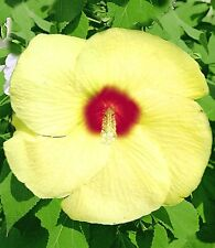 Hardy Hibiscus Seeds - OLD YELLA - Perennial Flowering Shrub - 10 Seeds