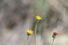 greenthread, Wildflower, yellow wild Flower, Navajo tea 115 seeds! GroCo