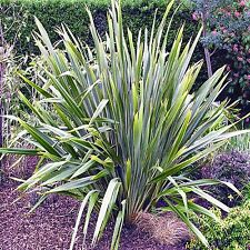 GREEN NEW ZEALAND FLAX SEEDS PHORMIUM TENAX LANDSCAPING FLOWERING 50 SEED PACK