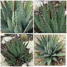 10 seeds of Agave utahensis ssp. utahensis, succulents, cacti, succulents seed R