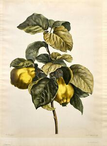 Pancrace Bessa: Chaponnier. Quitten. [um 1810]. Altkolorierter O.-Kupferstich.