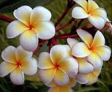 Plumeria Seeds/Flowers/Ladavan/Fresh 50 seeds