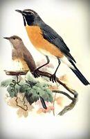 White-throated robin by German  Joseph Wolf. Canvas Bird Art.  13x19 Print