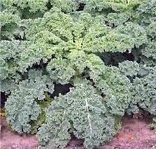 KALE SEED, DWARF SIBERIAN, ORGANIC, HEIRLOOM, NON GMO, 50+ SEEDS, HEALTHY GREENS