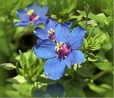 Blue Pimpernel (Anagallis Arvensis Caerulea)- 200 Seeds