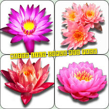 Water Lily Tuber Super Red Pack Freshwater Live Aquatic Pond Plant Garden Seed