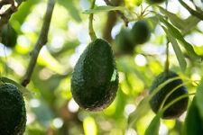 Avocado (Fuerte) Grafted Plants