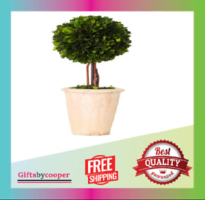 Real Preserved Boxwood Evergreen Globe Tree Topiary in Terracotta Planter NEW
