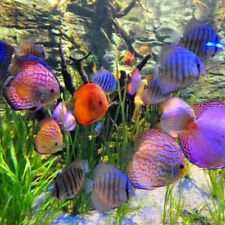 "Assorted Discus Large 4-5"" Aquarium Koi Kompanion Free 1 Day Shipping"