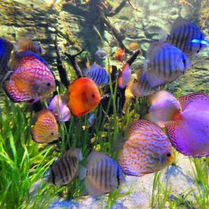 "Assorted Discus Large 4-5"" Aquarium Koi Kompanion Free 1 Day Shipping"