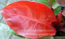 "Philodendron ""Red Sunlight"" Very Beautiful Red Leaf&Look Good + Free Phyto @"