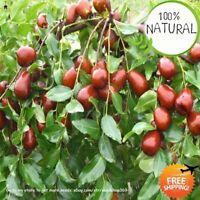 Giant Jujube Sweet Seeds Plants Fruit Tree Exotic Bonsai Potted Gift Rare 20pcs