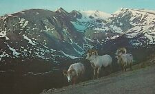 Big Horn Sheep Rocky Mountain Park  Colorado  Chrome Postcard 32013