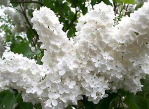 LILAC SYRINGA MADAME FLORENT STEPMAN, 9cm POT, HARDY SHRUB/TREE, WHITE FLOWERS