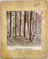VERY RARE 1800s COLLECTING TURPENTINE TREES FOREST ALBUMEN PHOTOGRAPH Picture