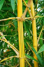 Golden Striped Hawaiian Bamboo Clumping non-invasive ROOT DIVISION (B. vulgaris)