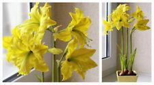 Amaryllis Bulbs, Barbados Lily, Hippeastrum Bulb, Amaryllis Flowers Yellow Color