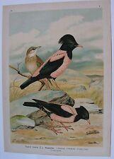 1905 STORNO ROSEO Uccelli Naumann Pastor roseus Ornitologia Ornithology