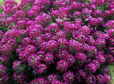1,000 Alyssum Seeds Cheers Rose Ground Cover  BULK SEEDS