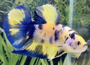 Male GIANT Yellow Galaxy HMPK Betta