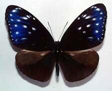EUPLOEA MULCIBER BASILISSA - unmounted butterfly
