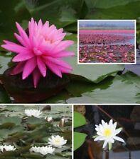 Seerosen Frühblüher-Set 3 Pflanzen weiß rosa gelb Wasserpflanzen für den Teich