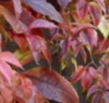 Parthenocissus quinquefolia in 9cm pot Virginia Creeper