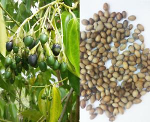 20+ Dried Cinnamon Seeds ( Cinnamomum Zeylanicum = Verum ) Ceylon Cinnamon Seeds