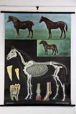 Zoological Horse chart wall hanging print poster map RRP $300 original
