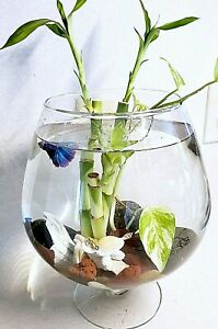 """5 Lucky Bamboo 4"""" Stalks, Water Plant, Aquarium, Feng Shui, GIFT"""