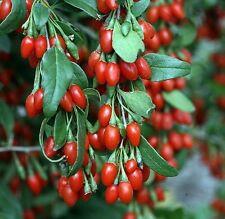 Sweet Big Lifeberry Goji Berry Vitamin Plant Lycium Super Fruit 4 Pot Tree New