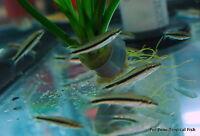 "4 Siamese Algae Eater Crossocheilus siamensis Live Freshwater Tropical 1"""