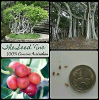 100+ INDIAN BANYAN FIG TREE SEEDS (Ficus benghalensis) Sacred Shade Huge Bonsai
