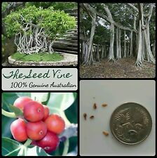 10+ INDIAN BANYAN FIG TREE SEEDS (Ficus benghalensis) Sacred Shade Huge Bonsai