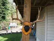"""Mule deer 19"""", 5x5"""" antler mount."""