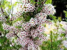 Yellowhorn (Xanthoceras sorbifolium) 10 seeds