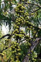 Garten Terrasse Obstbaum Exot i! Amla-Baum !i Terrasse exotisches Obst Balkon