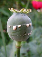 1200+ Unwashed Blue Afghanistan Poppy Seeds Papaver Somniferum