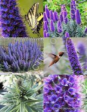 Echium Fastuosum Candicans rare Pride of Madeira purple flowers exotic- 20 seeds