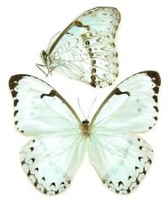 10 MORPHO CATENARIA unmounted butterflies ARTWORK A1 perfect quality beautiful!