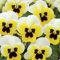 30PCs Seeds Velour Yellow Viola Flower Shade Perennial Garden Decoration Bonsai