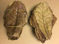 Kombiangebot: 700Gramm Seemandelbaumblätter ~20cm + 700 Gramm Erlenzapfen