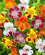 Tiger Monkey Flower MIX - 2500 SEEDS - Mimulus tigrinus grandiflorus