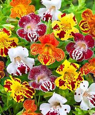 Tiger Monkey Flower MIX - 3200 SEEDS - Mimulus tigrinus grandiflorus