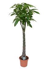 Pachira aquatica Glückskastanie Zimmerpflanze Grünpflanze  Wilder Kakaobaum