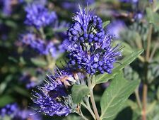 3 'Heavenly Blue' Caryopteris Clandonensis Plants.In 2 Litre Pots 20-30cm Tall