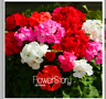 100 seeds Promotion!Geranium Mix Flower Seeds Bonsai Plants Home Gardening Pots