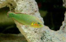 "New listing Live Saltwater Fish- 3""-4"" Melanurus Wrasse"