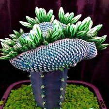 50Pcs/Pack New Fashion Super Rare Cactus Succulent Plants Bonsai Seeds Best